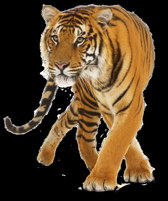 3d Tiger Images Download Tiger Free Png Images Tiger Images
