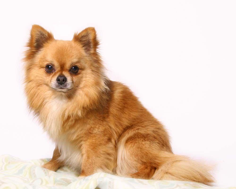 Long Hair Chihuahua Chihuahua Breeds Chihuahua Puppies Chihuahua