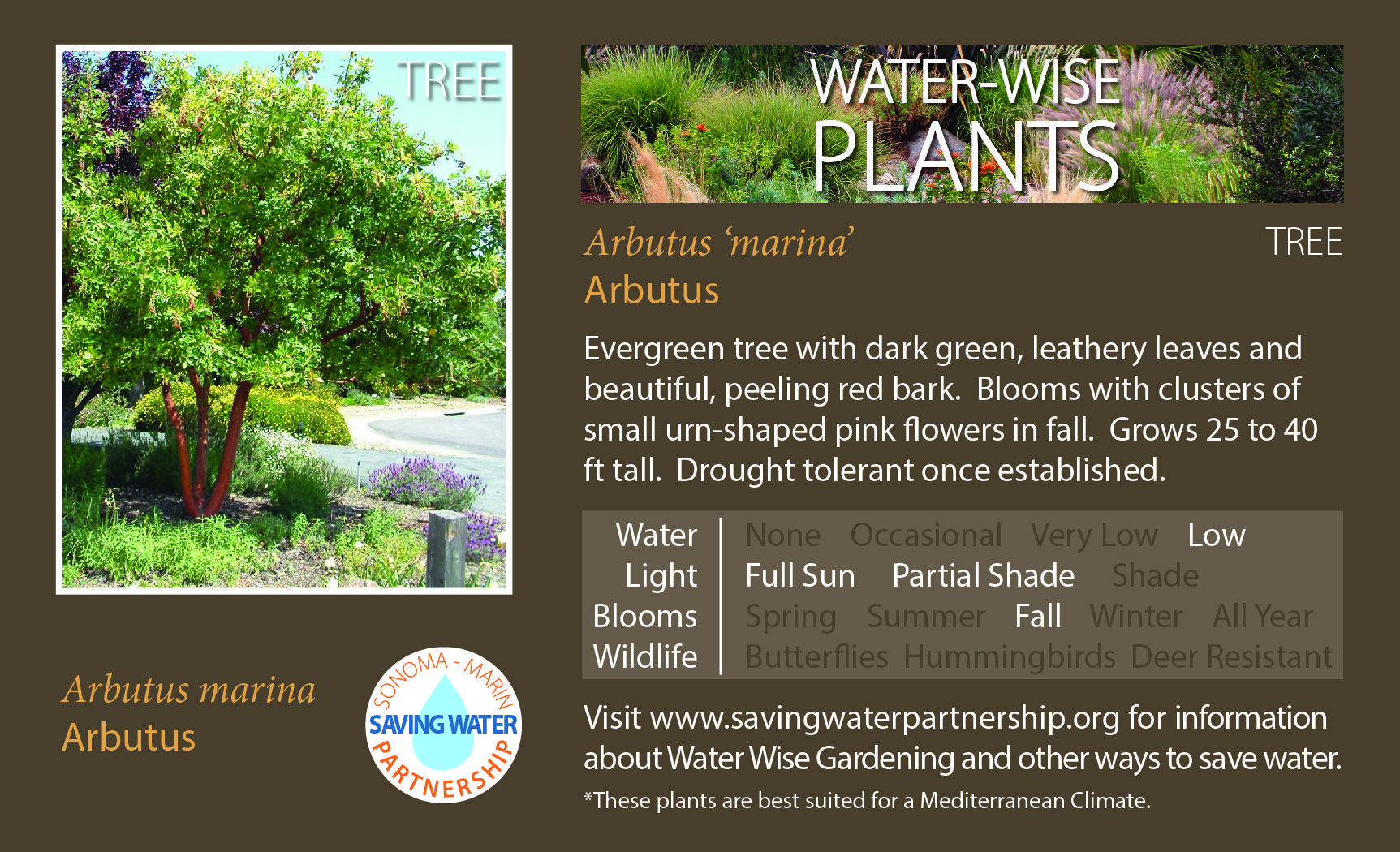 Arbutus \'marina\' - Arbutus: Evergreen tree with dark green, leathery ...