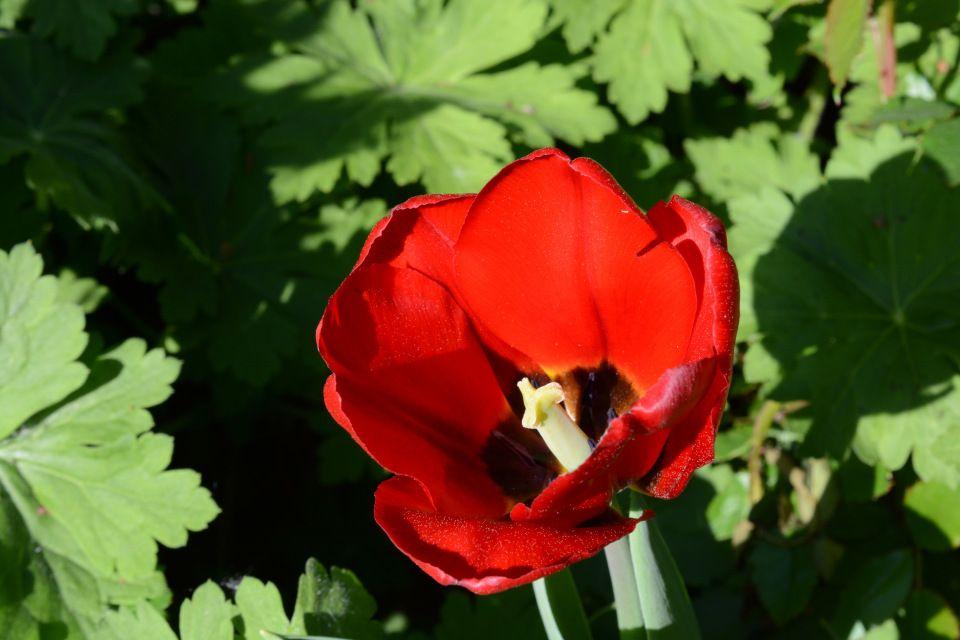 Pikkutulppaani | Vesan viherpiperryskuvat – puutarha kukkii