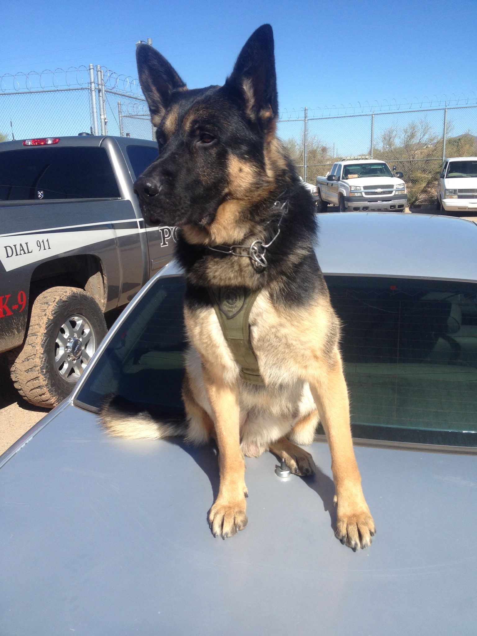 K 9 Officer Beny German Shepherd Police Service Dog With