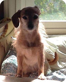 Seattle Wa Dachshund Manchester Terrier Mix Meet Hatie A Dog