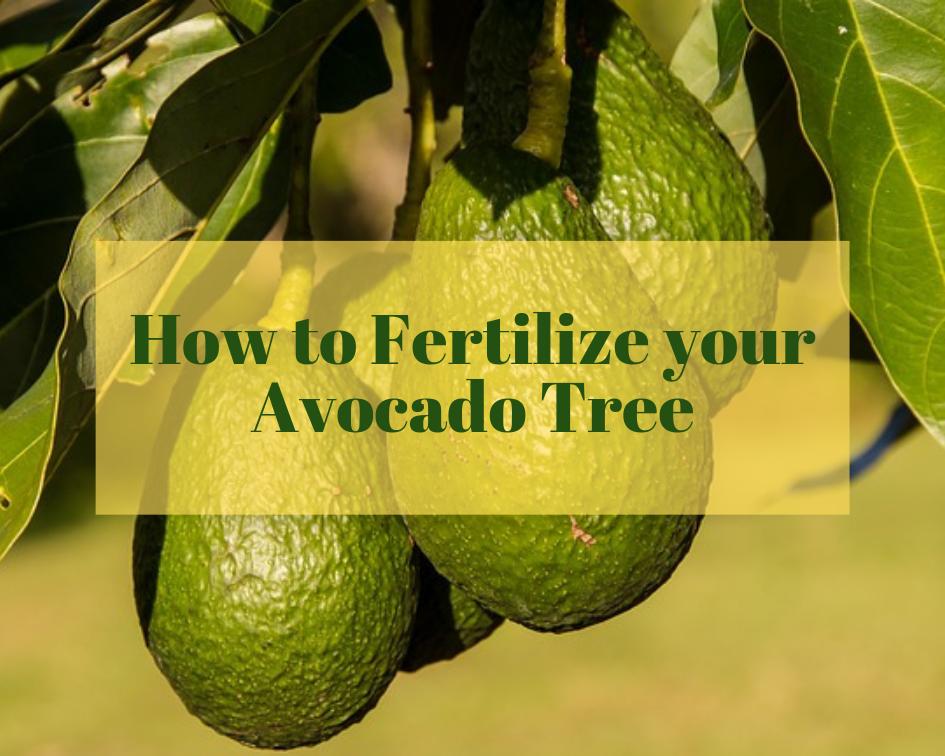 Avocado Tree Fertilizer Avocado Tree Avocado Avocado Plant