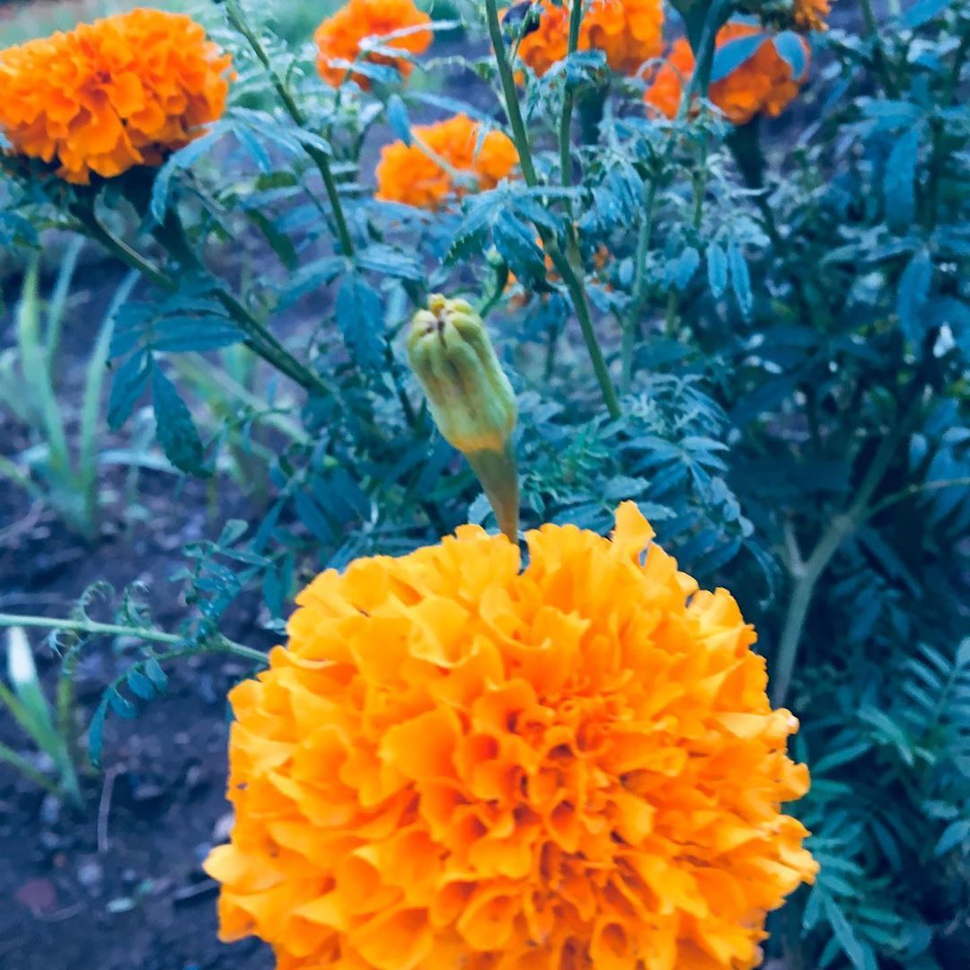 """BloomyBliss on Instagram: """"Marigold also have own beauty #flower #flowers #indiaflower #indiaflorist #flowerlovers #flowerlover #flowerlove #flowerphotography…"""""""