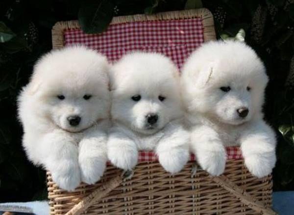 Top Samoyed Chubby Adorable Dog - 469852d071ff677b168515ac3d6c611e  Gallery_662325  .jpg