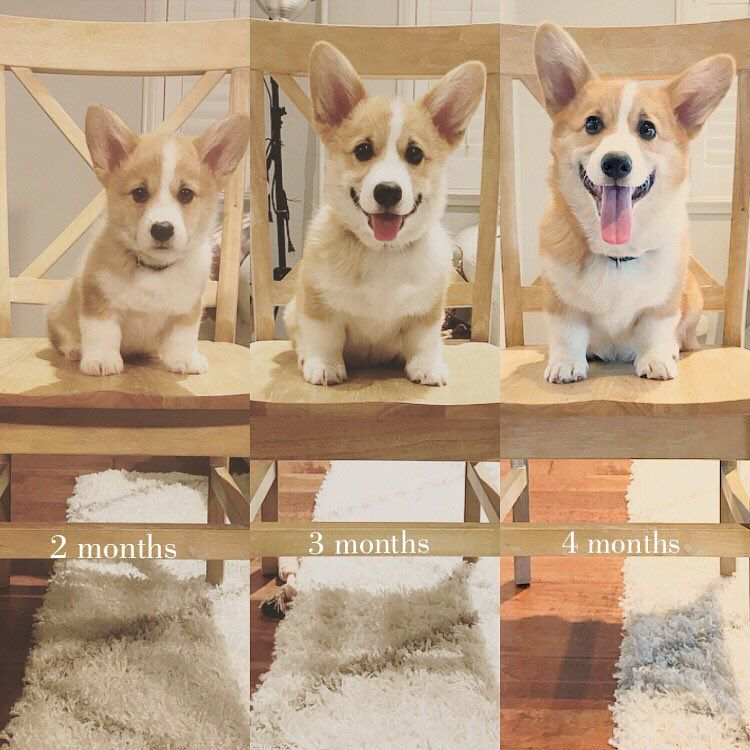 Charlie The Corgi On Instagram Puppy Growth Photos More Tongue