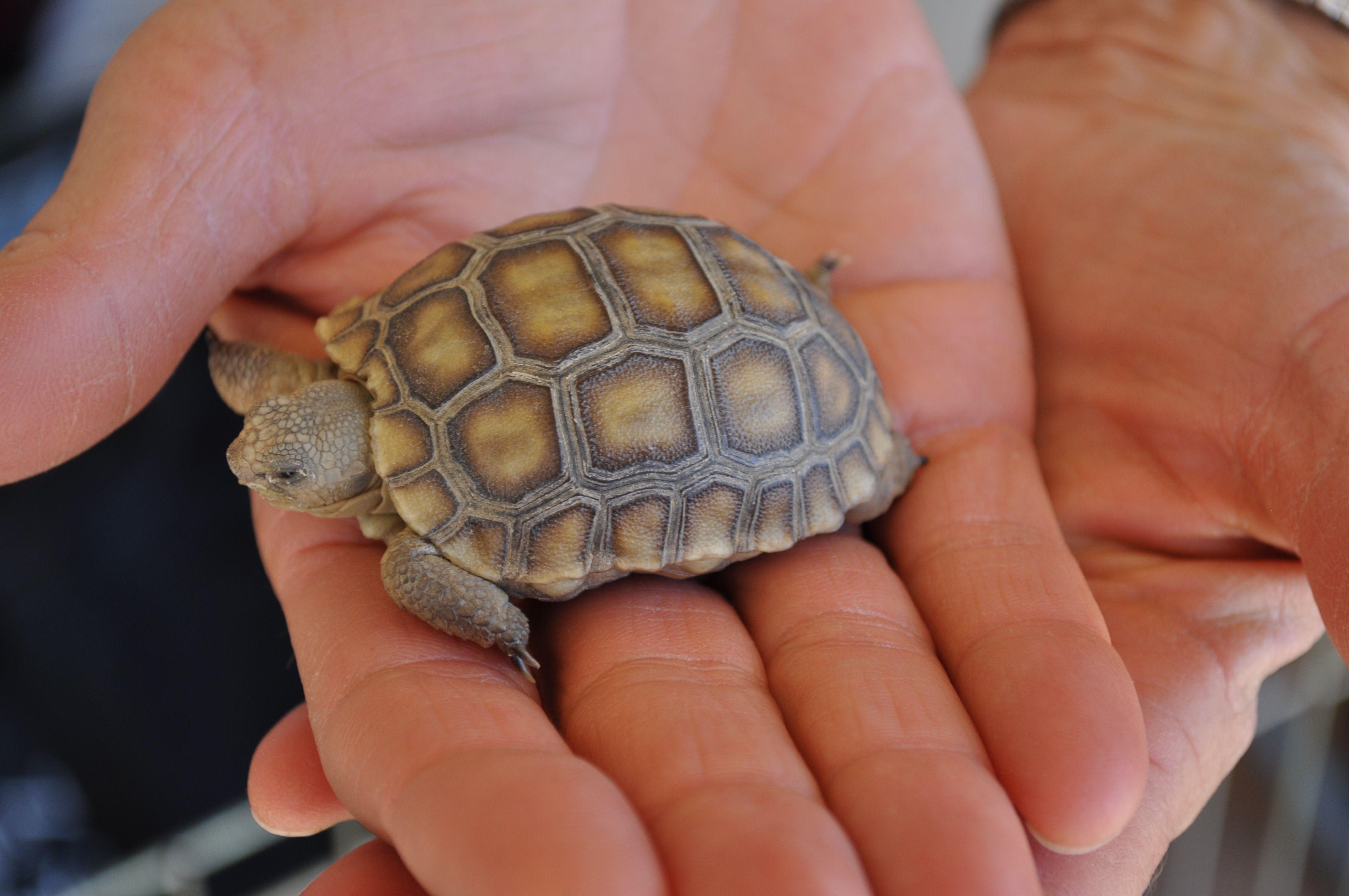 Isn't this baby California desert tortoise (Gopherus
