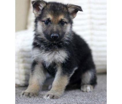 Duty M F German Shepherd Puppies Is A Blue Yellow German Shepherd