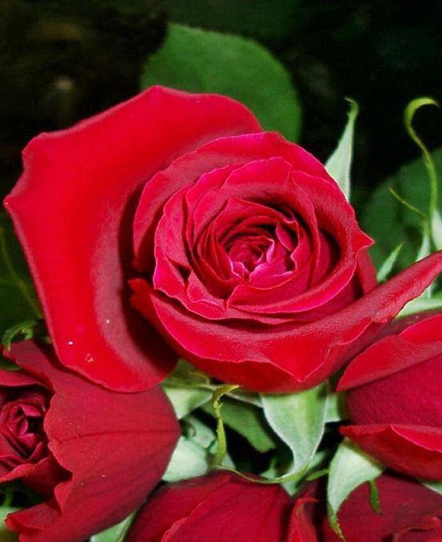 [rosa-vermelha%255B2%255D.jpg]