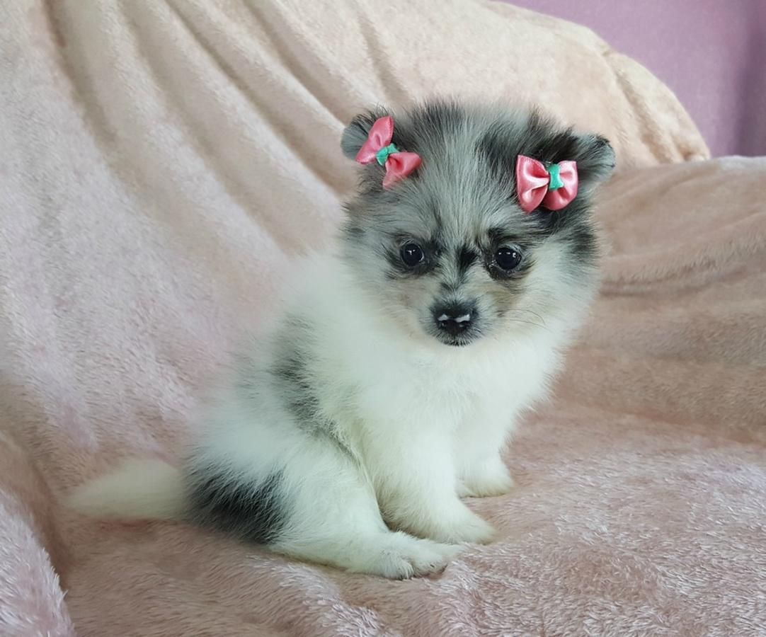 Pomeranian Puppies For Sale Philadelphia Pa Pomeranian Puppy