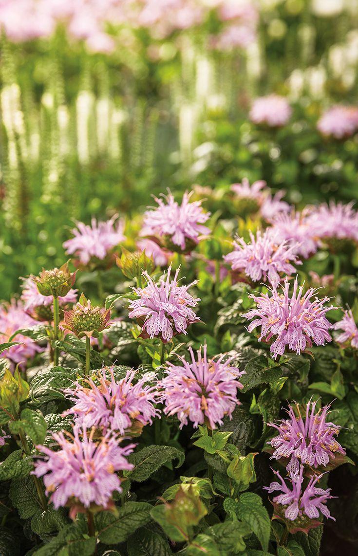 Pardon my lavender bee balm invites butterflies birds and bees to pardon my lavender bee balm invites butterflies birds and bees to your perennial garden all mightylinksfo