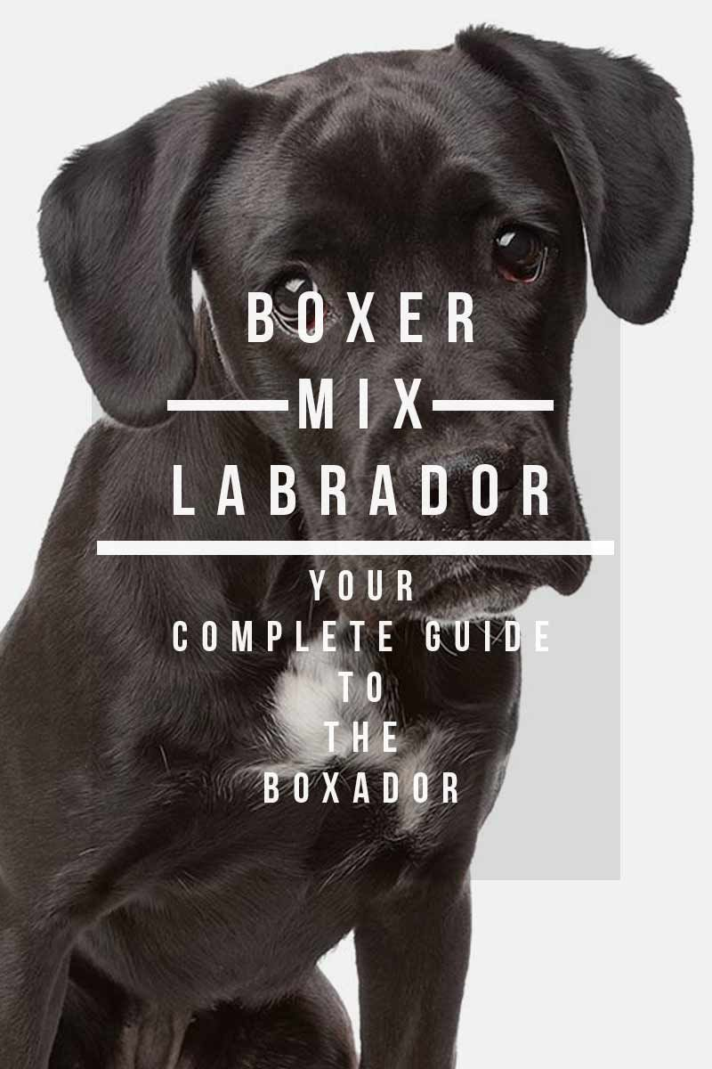 Boxer Labrador Mix Your Complete Guide To The Boxador Boxer Lab Mixes Boxer Lab Mix Puppies Boxer Lab