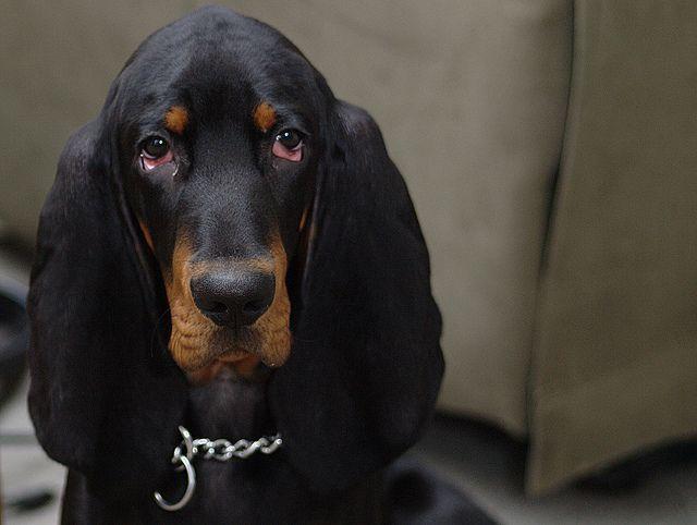 Zeek A Boo Hound Dog Bassett Hound Blue Tick Beagle