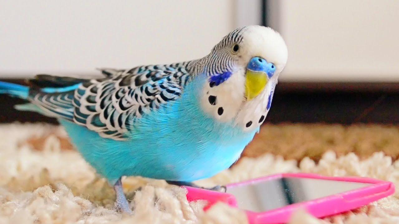 Budgie singing to mirror parakeet sounds parakeet