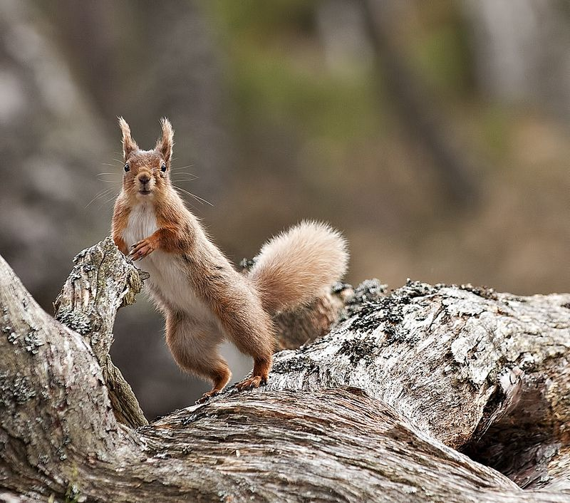 Red Squirrel - posing for me - Explored