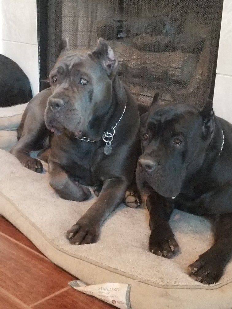 Pin By Vella Wakefield On Animal Pet Stuff Cane Corso Dog