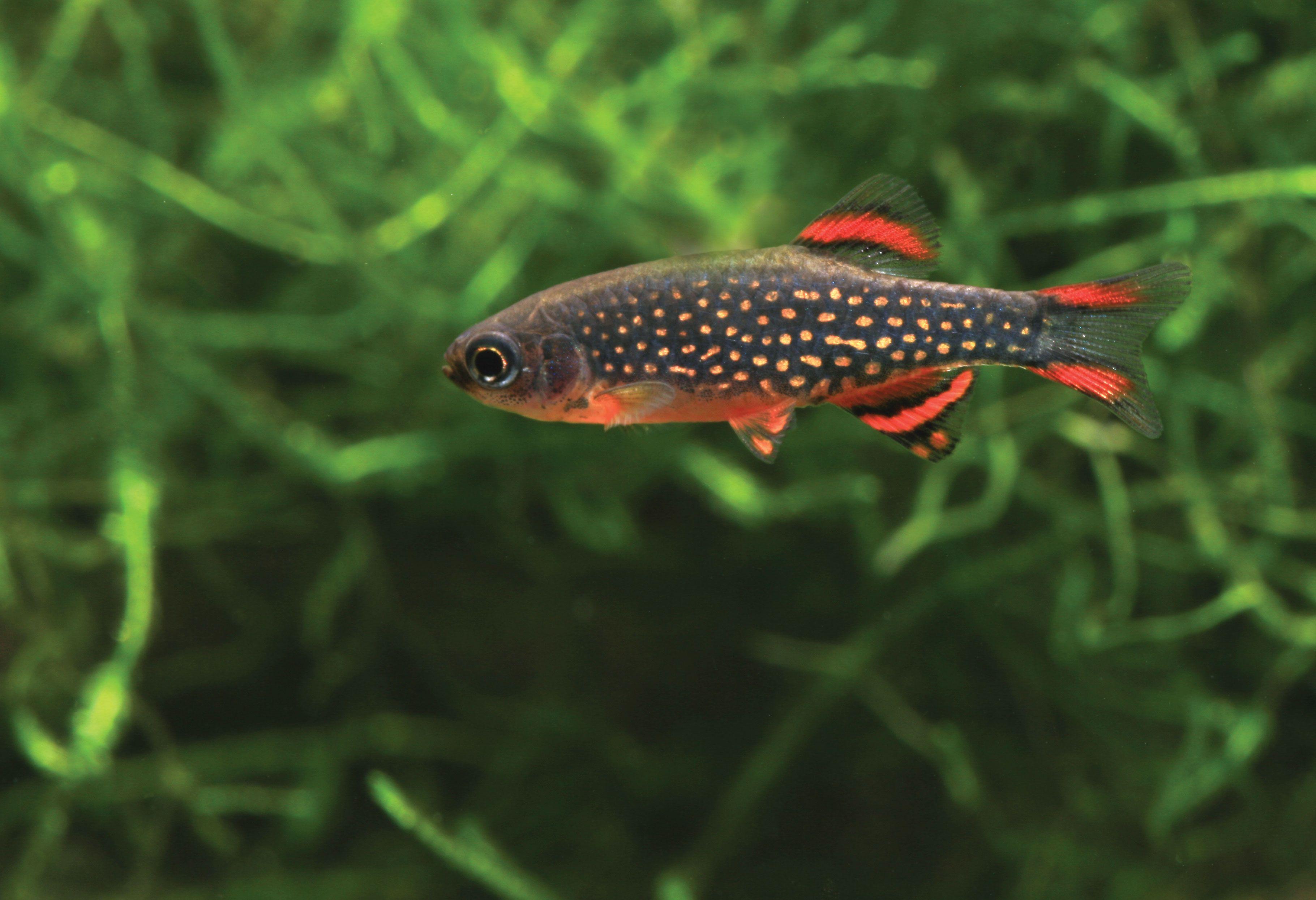 Pearl Danio | Popular Community Fish The Celestial Pearl Danio Is A Great Choice