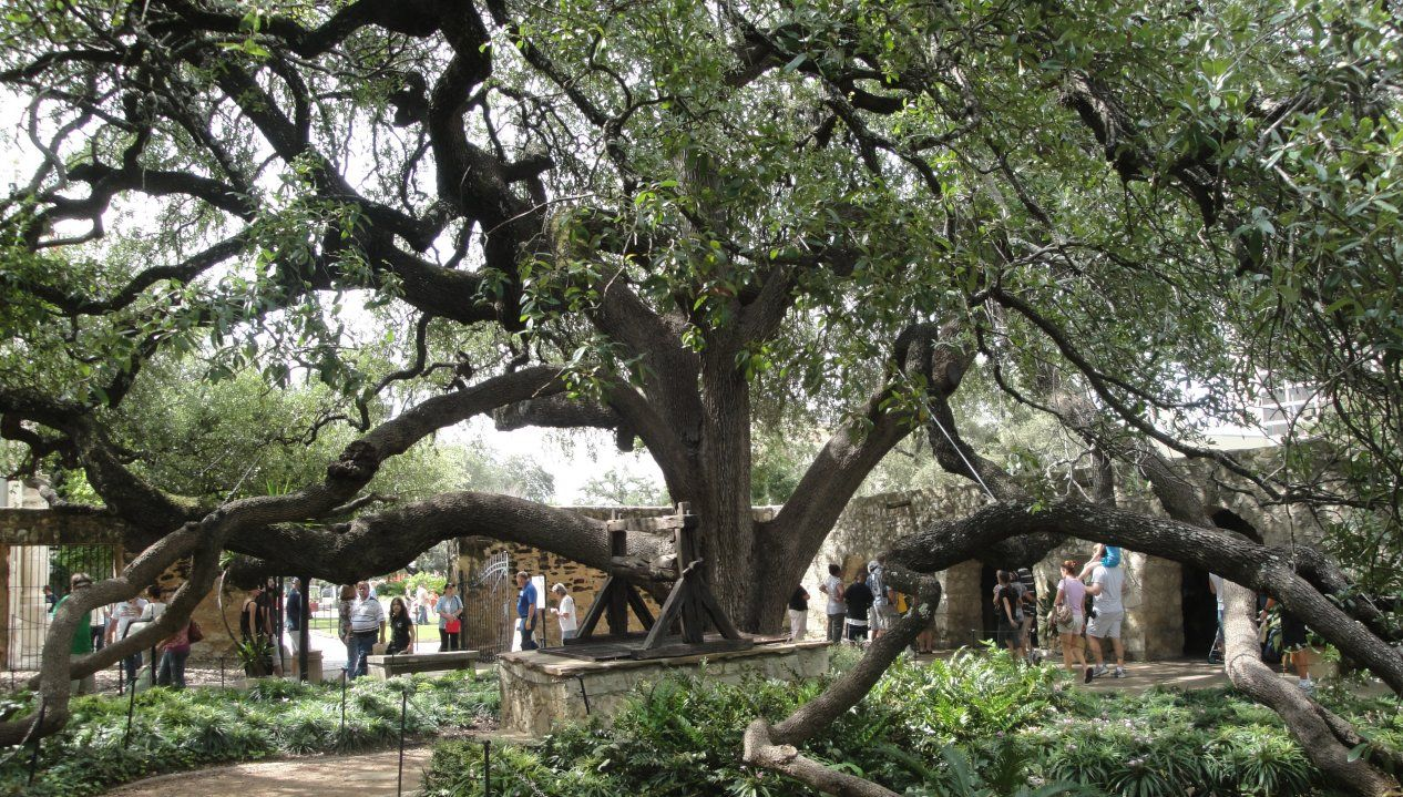This live oak tree is in the center of the