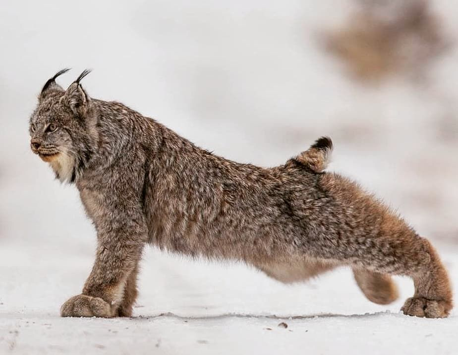 BIG CATS WILDLIFE sur Instagram The beautiful 😍 Canada