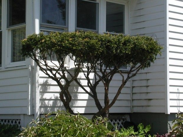 How To Prune Yew Shrubs Bushes Into Bonsai Looking Trees With The Help Of Deer Vip Yew Shrub Shrubs Pruning Shrubs