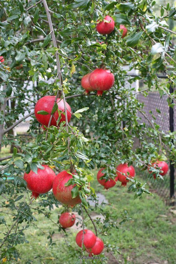 Alibaba Group Tree Seeds Planting Fruit Trees Fruit Trees