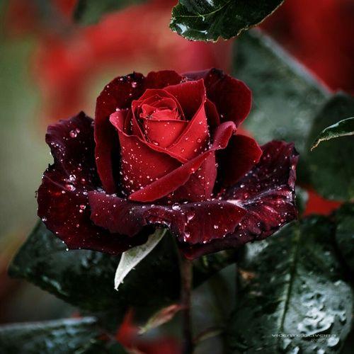 Картинка с тегом «red and rose»