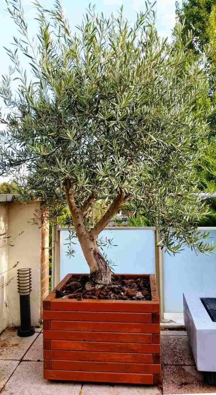 olivier en pot pour la terrasse ou le balcon conseils et photos pinterest bac en bois. Black Bedroom Furniture Sets. Home Design Ideas