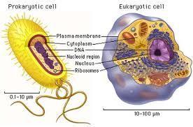 Resultado De Imagen Para Celula Animal Vegetal Procariota Y