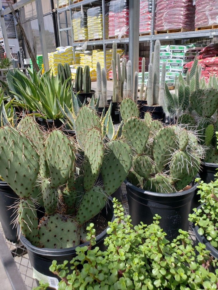 Succulents And Cactus From Lowes Home Improvement Garden Center