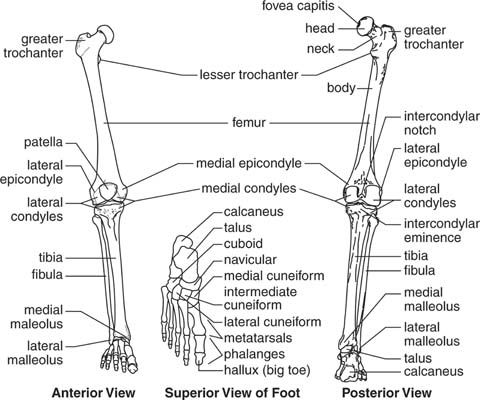 foot anatomy coloring pages - photo#15