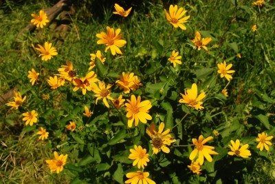 Ox Eye Sunflower Plant How To Grow A False Sunflower is part of Planting sunflowers, Sunflower garden, Garden seeds, Sunflower, Plants, Meadow garden - Learning how to grow a false sunflower provides an easy option for a longlasting summer flower in the garden and natural area  Growing ox eye sunflowers is easy, and this article will help