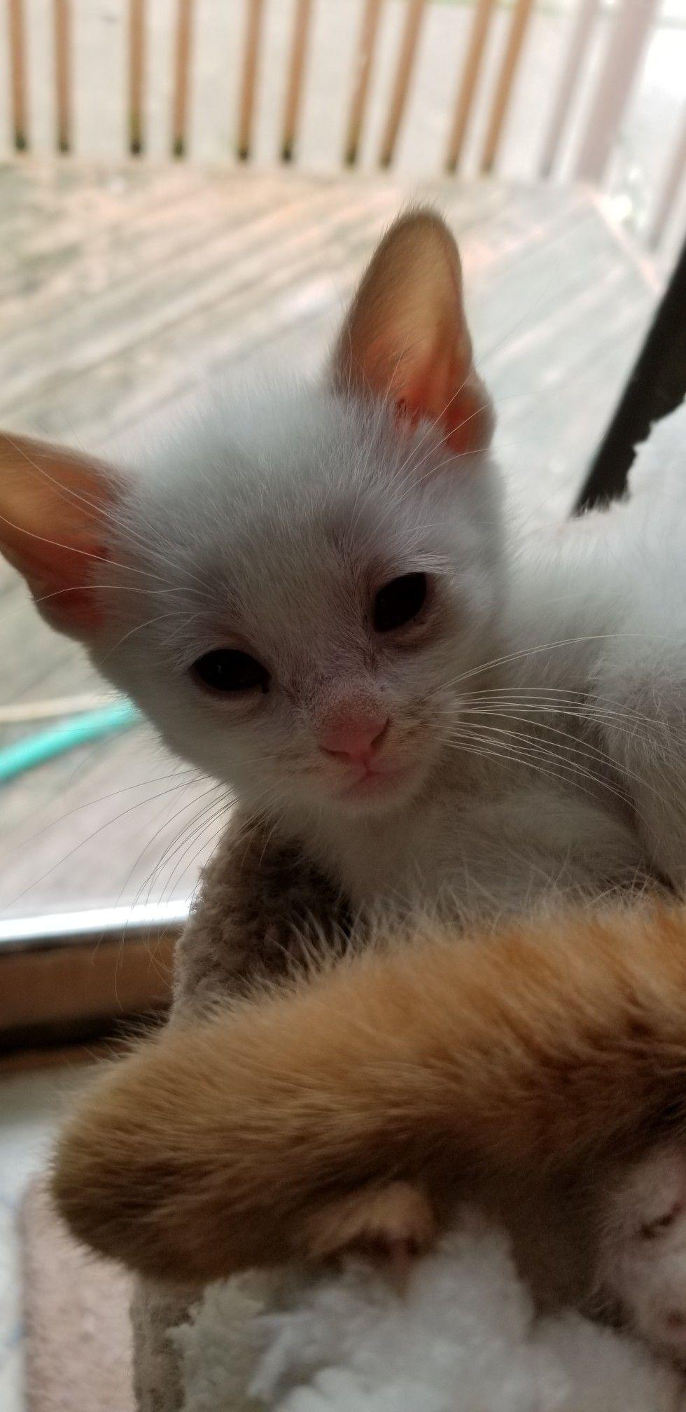 Ragdoll Kittens For Sale In Iowa