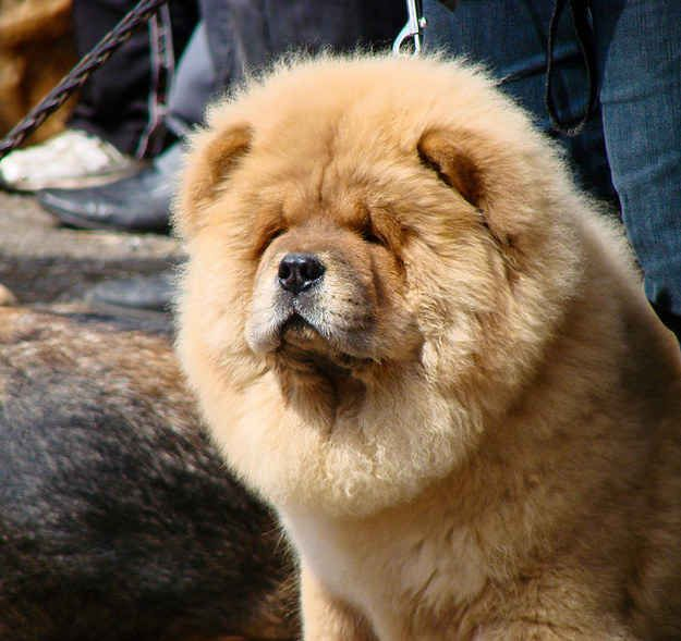 Sigmund Freud Had A Chow Chow Named Jofi Who Sat In On Some Of His