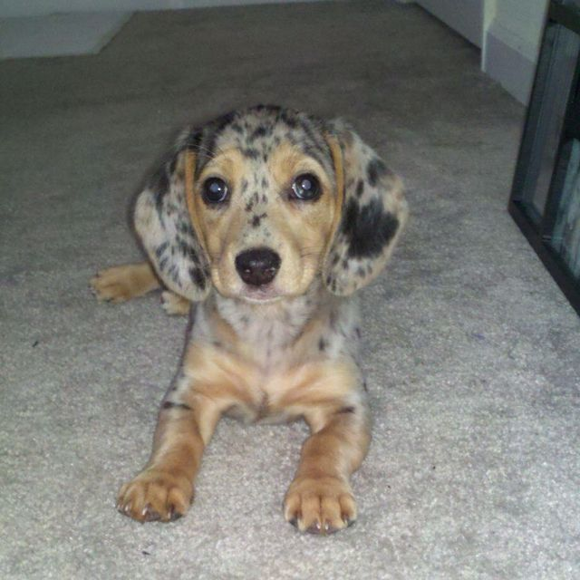My Baby Cali Dapple Dachshund And Beagle Mix Dapple