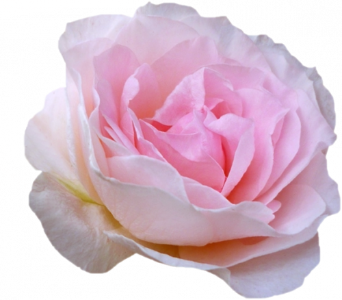 tube fleur, tube roses | tubes png/cadres/gif/édition photo