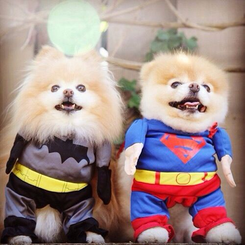 Buddy Boo Dogs In Super Hero Costumes Dog Halloween Costumes