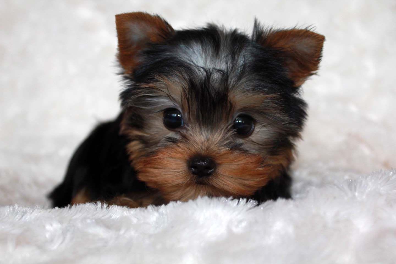 Park Art|My WordPress Blog_Teacup Pomeranian Puppies For Sale 250 In Illinois