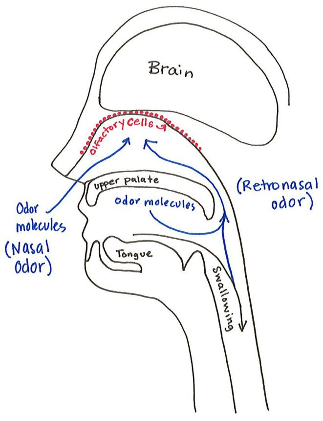 Smell Diagram | School Ideas | Pinterest | Anatomy and Taste buds