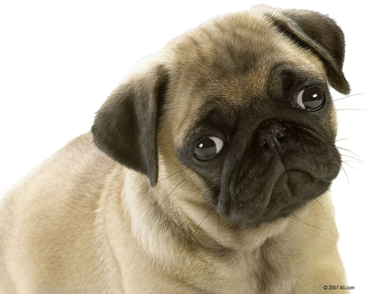 The Pug Is A Toy Dog With A Wrinkly Short Muzzled Face And