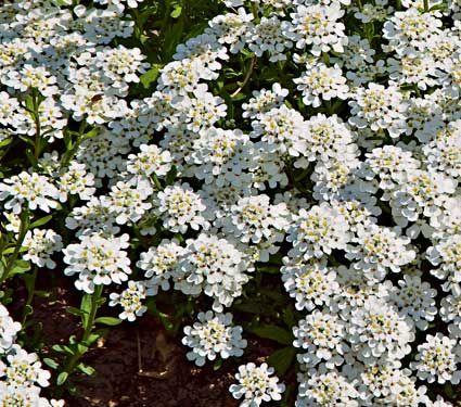 Candy Tuft Alexander S White Candytuft C Photo Arbortanics Inc Plants Common Garden Plants Rock Garden Plants
