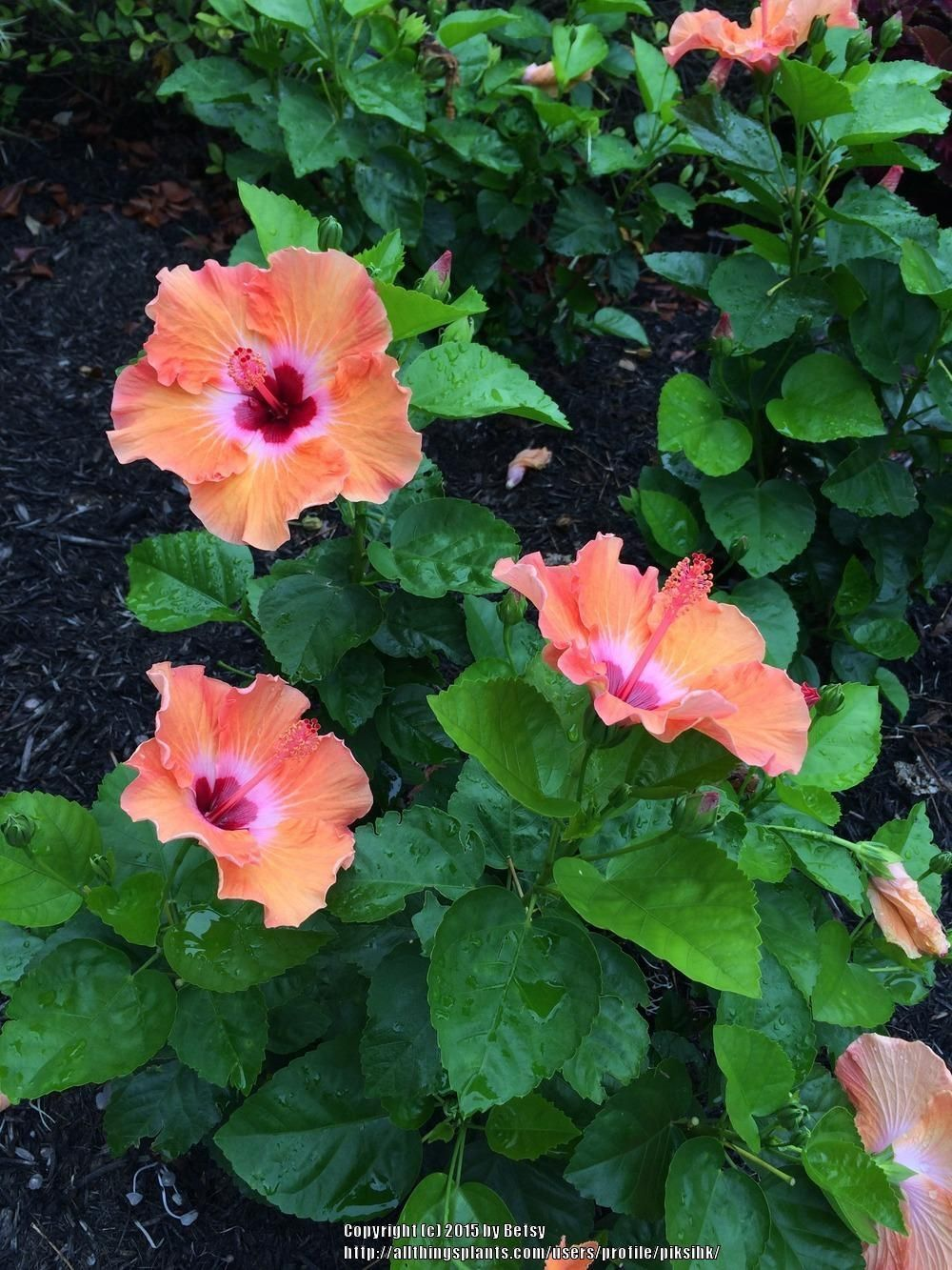 Hibiscus Plant Care And Collection Of Varieties Garden Org Hibiscus Plant Plants Hibiscus