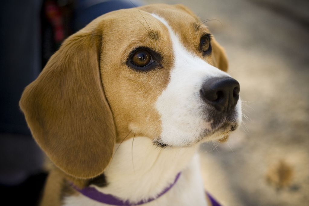 Living With Crazy Lady A Beagle S Perspective Dog Breeds Best