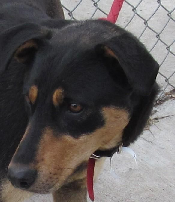 Adopt Iso 2 Alexa Adopted On Doberman Pinscher Dog Doberman