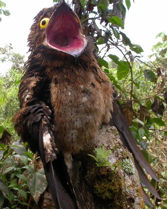 Potoos Son Un Grupo De Aves Paseriformes Cercanas Relacionadas Con Los Nightjars Y Frogmouths Hay Siete Especies En Un Aves Belas Passaros Coloridos Passaros