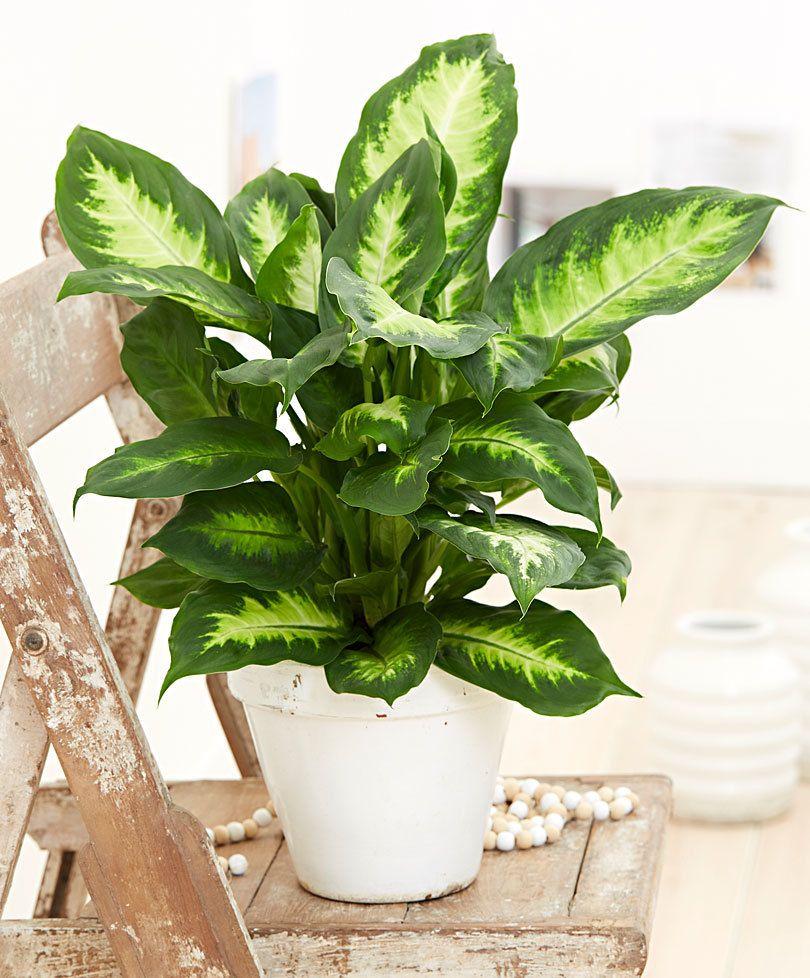 Dieffenbachia 39 camilla 39 plants indoor for Planta ornamental venenosa dieffenbachia