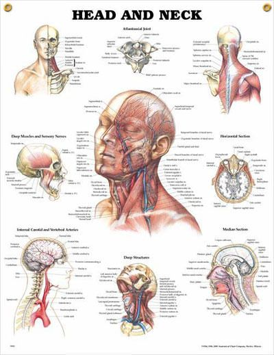 Head And Neck Chart 20x26 Abc Fast Pins Pinterest Anatomy