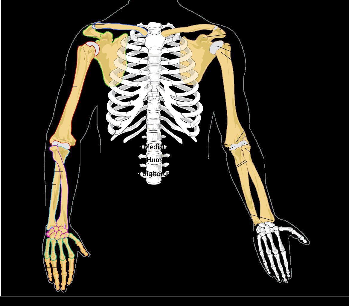 Human Shoulder Diagram Filehuman Arm Bones Diagramsvg Wikipedia