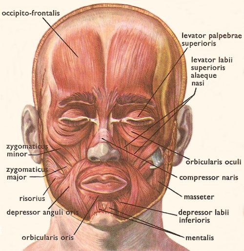 muscles of the head | facial muscles | pinterest | muscles, Muscles