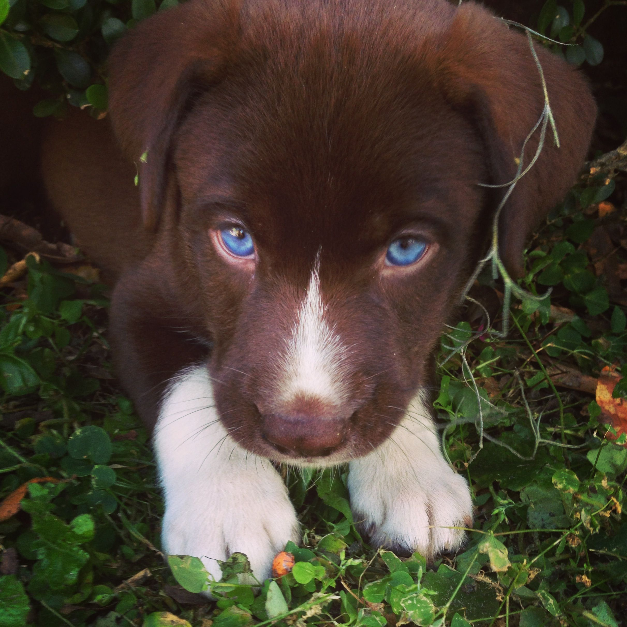 Pics For > Chocolate Lab Puppies With Blue Eyes