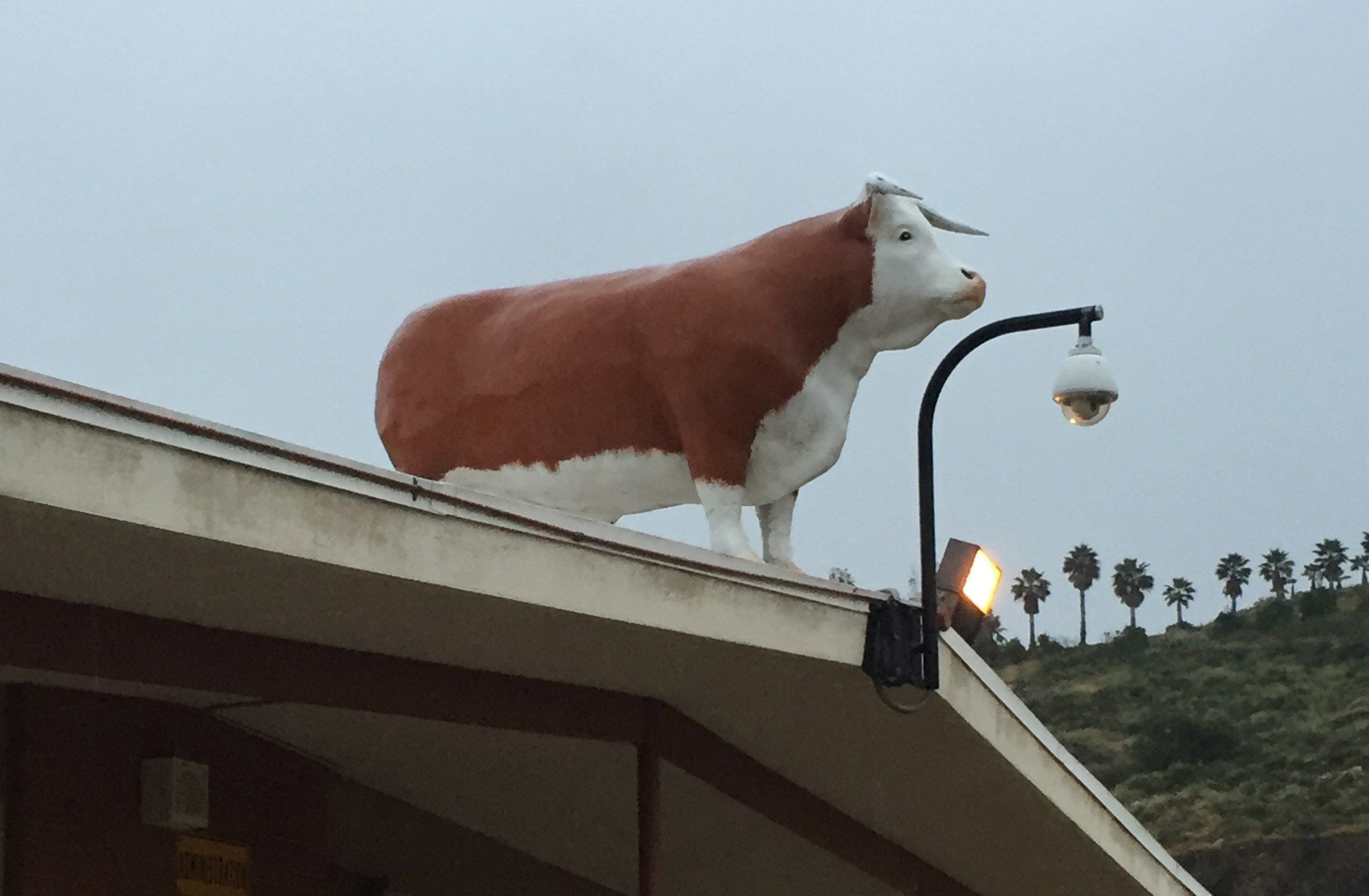 """""""Fred"""" the bull has been found safely atop a building at El Capitan High School in Lakeside after going missing."""